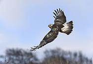 Rough-legged Buzzard - Buteo lagopus<br /> juvenile