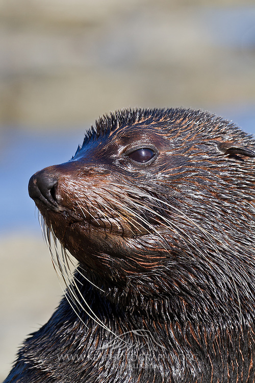 A nice portrait of a wet and slick New Zealand Fur Seal, Stewart Island.