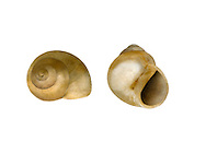 lagoon snail<br /> Paludinella litorina