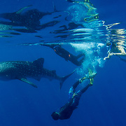 Juvenile whale shark (Rhincodon typus), with tour guides and tourist, Honda Bay, Palawan, the Philppines.