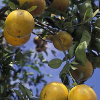 Arbol de naranjas, Nirgua, Yaracuy, Venezuela.