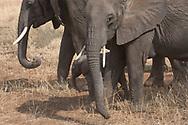 A tiny baby elephant between two adults (Loxondonta africana) in Tarangire National Park, Manyara Region, Tanzania, Africa