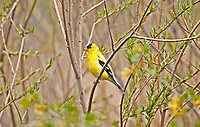 An American Goldfinch male rests in the safety of the willow branches.