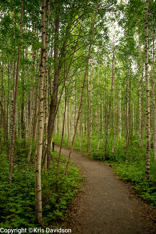 A birch forest in Harads, Sweden.