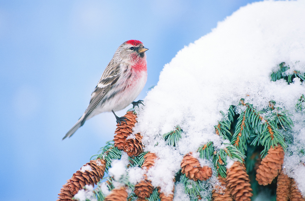 Common Redpoll. The Redpolls are a group of small passerine birds in the finch family Fringillidae which have characteristic red markings on their heads.