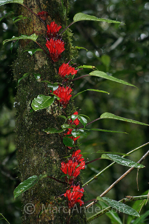 Climbing vine with red flowers in montane rainforest, Mount Kinabalu, Malaysia.