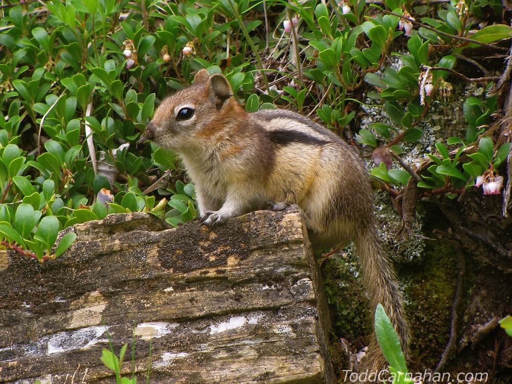 A Golden-mantled Ground Squirrel foraging