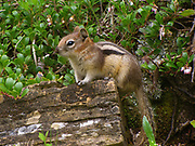 A Golden-mantled Ground Squirrel foraging