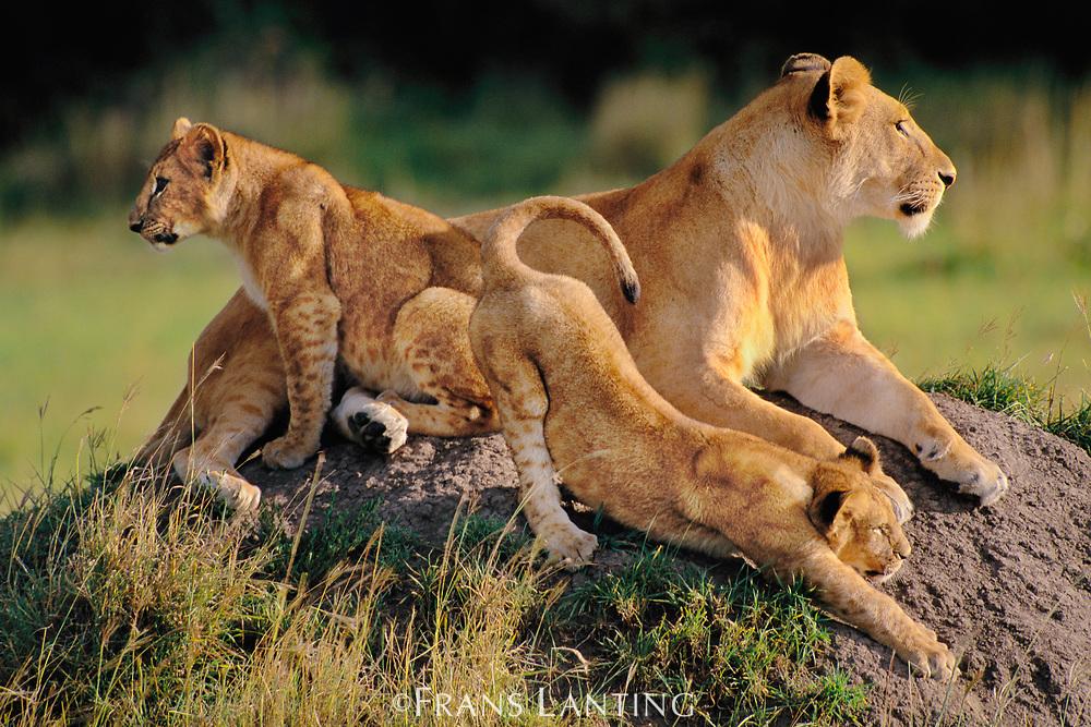Lioness with cubs, Panthera leo, Masai Mara Reserve, Kenya
