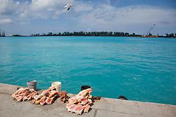 Conch shells laid out on Prince George Wharf, Bahamas.