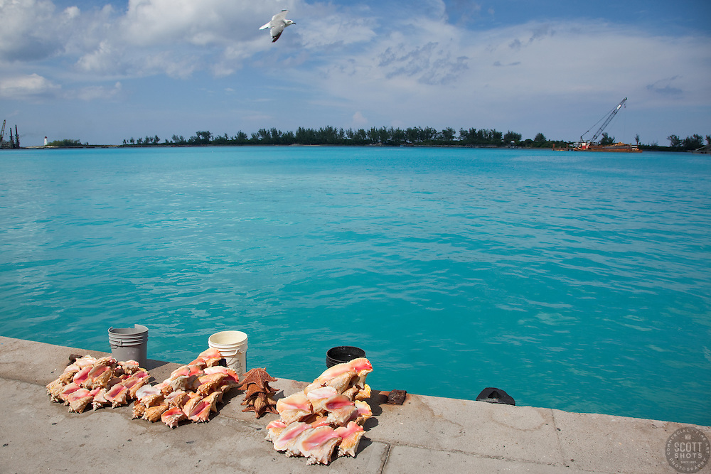 Conch shells laid out on Prince George Wharf, Bahamas.