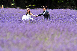 © Licensed to London News Pictures. 19/07/2018. Banstead, UK. A couple in wedding attire walk through a row of Lavender plants at Mayfield Lavender Farm in Banstead. Photo credit: Grant Falvey/LNP