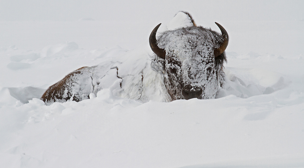Bison can withstand the frigid temperatures of Yellowstone better than most of the Park's residents. Their warm winter coat is actually made up of two separate layers; an outer layer of thick wool which blocks the elements and an inner layer that traps warm air to help them stay warm in the coldest weather.