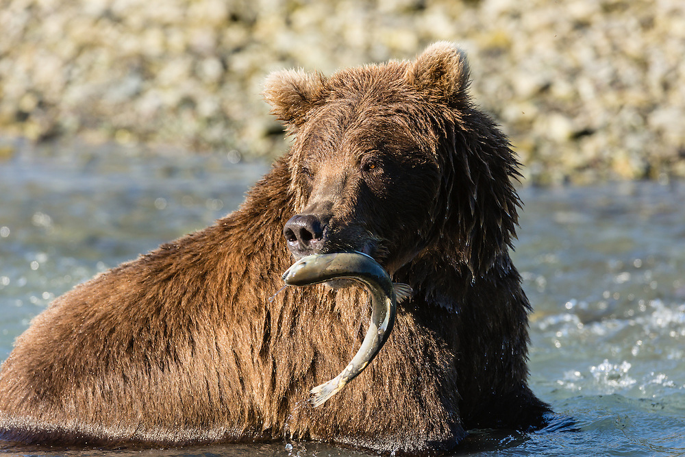 Brown bear (Ursus arctos) catching salmon in Geographic Creek  at Geographic Harbor in Katmai National Park in Southwestern Alaska. Summer. Afternoon.