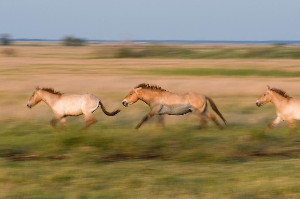 Przewalsky horses (Equus ferus przewalskii) running on the neverending grassland of Hortobagy National Park, Hungary