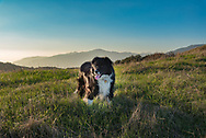Black and white border collie mix dog standing in a field with mountains in the background during the golden hour.