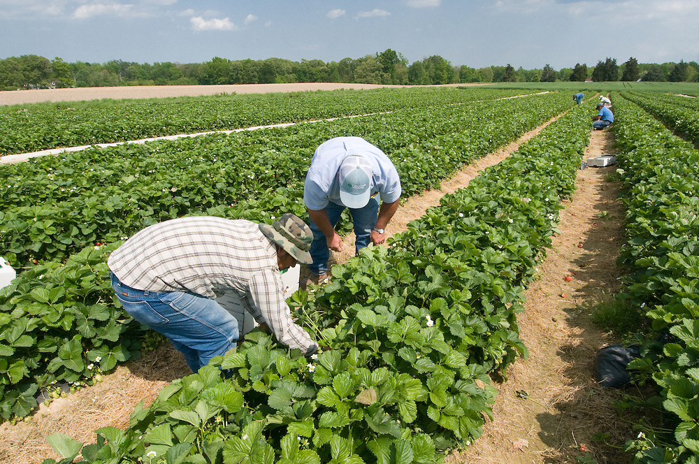 Workers harvesting strawberries in the field