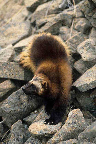 Wolverine, (Gulo gulo) In foothills of the Rocky mountains, crossing rocky slope. Spring. Montana.  Captive Animal.