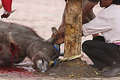 SHOCKING IMAGES as Water buffalo slaughtered for harvest