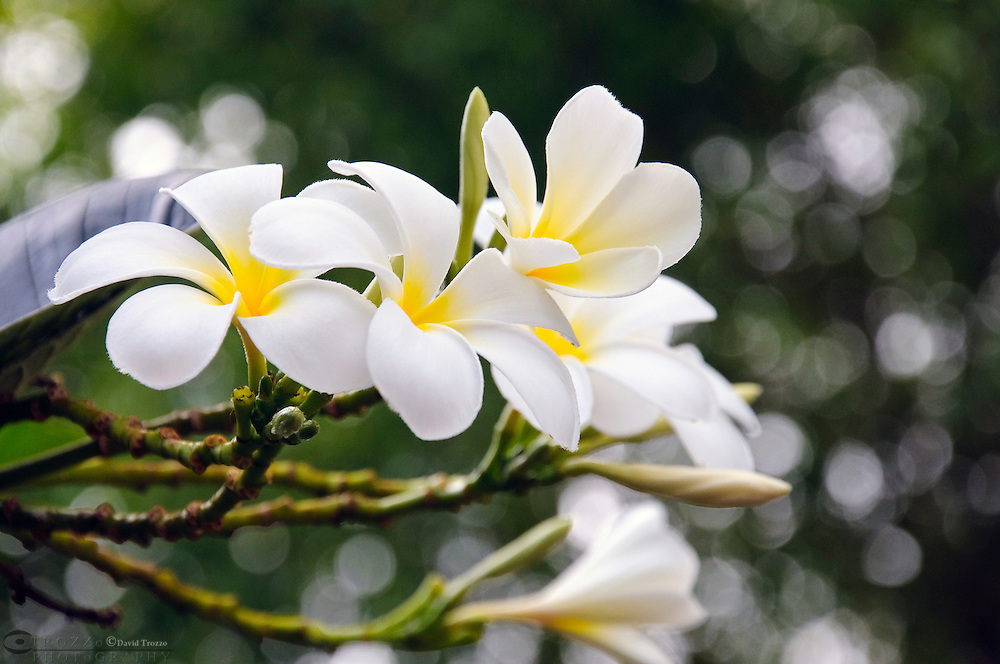 tropical flower frangipani