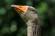 Greylag Goose (Anser anser)<br /> Secret World Wildlife Rescue Center<br /> Somerset<br /> England<br /> UK<br /> Captive