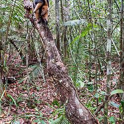 """""""Tamanduá-mirim (Tamandua tetradactyla) fotografado em Guarapari, Espírito Santo -  Sudeste do Brasil. Bioma Mata Atlântica. Registro feito em 2007.<br /> <br /> ENGLISH: Southern tamandua  photographed in Guarapari, Espírito Santo - Southeast of Brazil. Atlantic Forest Biome. Picture made in 2007."""""""