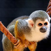 Squirrel monkey, Berlin, Germany (June 2007)