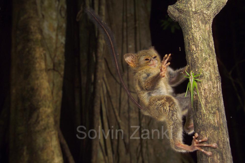 Spectral or Sulawesi Tarsier, (Tarsius spectrum), in the rainforest, Tangkoko Nature Reserve, Sulawesi, Indonesia (Celebes-Koboldmaki) test