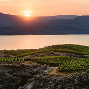 The last light of day rakes over the vines of Marichel Vineyards, Naramata British Columbia, as the sun sets behind Summerland.