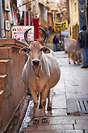 A venerated Indian cow stands on a street within Jaisalmer's golden fort in Rajasthan, India.
