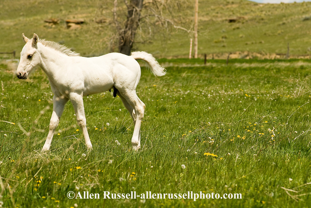 Quarter Horses, gray foal<br /> PROPERTY RELEASED