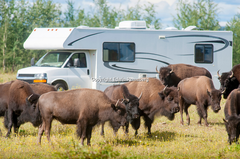 Herd of Bison (Bison Bison) (American Buffalo) grazing field in front of RV in Alaska.