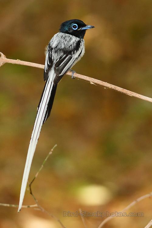 Malagasy Paradise Flycatcher, (Madagascar Paradise Flycatcher), Terpsiphone mutata, Madagascar, by Markus Lilje