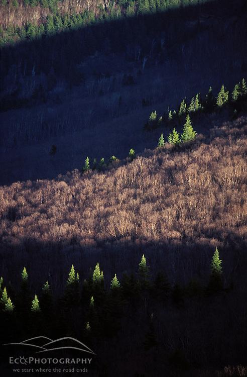 Spruce trees light up in the early sun in NH's Pemigewasset Wilderness. Appalachian Trail.  Zeacliff, NH
