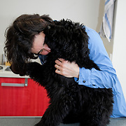 Bouvier des Flandres puppy (Cannis Familaris) on clinic table and veterinarian. France