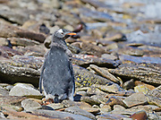 Moulting chick on beach
