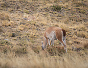 A mountain lion lies camouflaged in the dried grasses while an unwitting guanaco quietly feeds. The mountain lion did make a try for it, but the guanaco saw the mountain lion just in time and barely escaped.