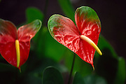 Anthurium, Island of hawaii<br />