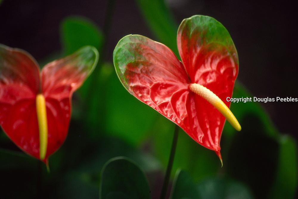 Anthurium, Island of hawaii<br />