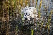"""English Setter Welpe """"Rudy"""" schüttelt sich am 09.09. 2017 im Teich von Stara Lysa, (Tschechische Republik).  Rudy wurde Anfang Januar 2017 geboren und ist vor einiger Zeit zu seiner neuen Familie umgezogen."""