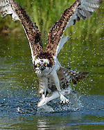 Success: Osprey flies up from pond with a fish, looking directly at camera. © 2015 David A. Ponton