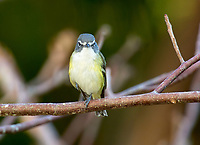 Blue-headed Vireo (Vireo solitarius),  Green Cay Nature A   Photo: Peter Llewellyn