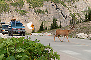 A male mule deer (Odocoileus hemionus) with antlers in late July crosses Logan Pass (Continental Divide elevation 6646 feet / 2025 meters) in Glacier National Park, Montana, USA.