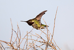 Anna's Hummingbird (Calypte anna) flying, Palo Alto Baylands, Palo Alto, California, United States of America