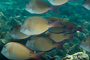 schooling juvenile brown surgeonfish, lavender tangs, dusky surgeonfish, or ma'i'i'i, Acanthurus nigrofuscus, Kahaluu Beach Park, Keauhou, Kona, Hawaii Island ( the Big Island ) Hawaiian Islands( Central Pacific Ocean )
