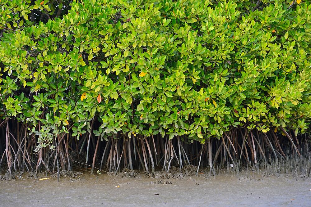 Mangrove, Rhizophora mangle, Pulicat Lake, Tamil Nadu, India