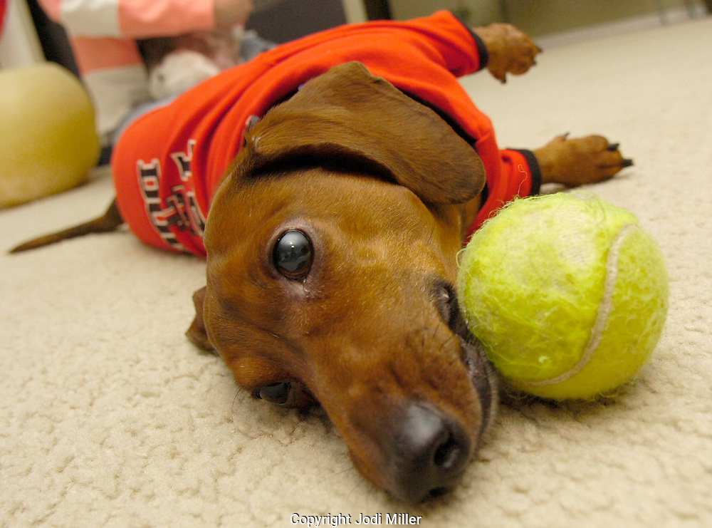 Jodi Miller Lubbock Avalanche-Journal.J.J. takes a break after a work out in his favorite sweater with his favorite tennis ball..