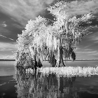 Infrared photo cypress tree reflection on Blue Cypress Lake, Florida