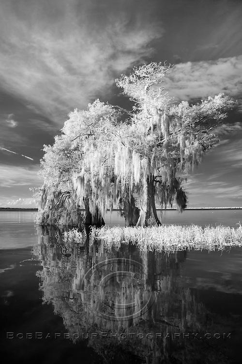 Infrared photo cypress tree reflection on Blue Cypress Lake, Florida