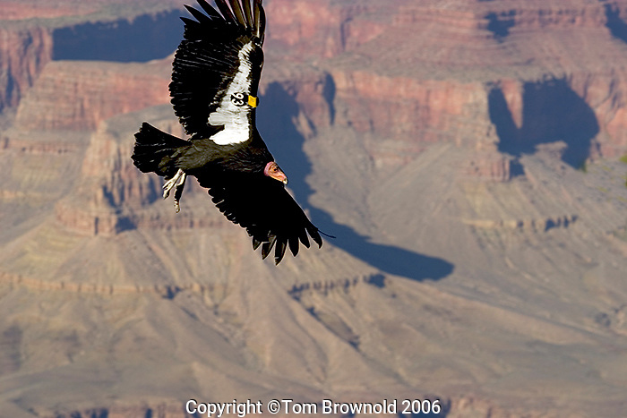 California Condor over Grand Canyon